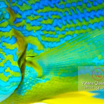 Détail vivaneau voilier / Aquarium de Monaco - Réf : VQA5-0147 (Q3)