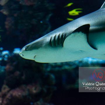 Requin à pointe noir / Aquarium de Monaco - Réf : VQA5-0149 (Q3)