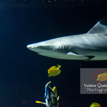 Requin à pointe noir et poissons-chirurgien / Aquarium de Monaco - Réf : VQA5-0150 (Q3)