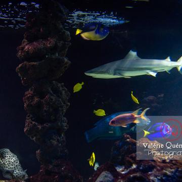 Requin à pointe noir / Aquarium de Monaco - Réf : VQA5-0151 (Q3)