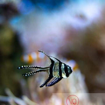 Apogon / Aquarium de Monaco - Réf : VQA5-0153 (Q3)