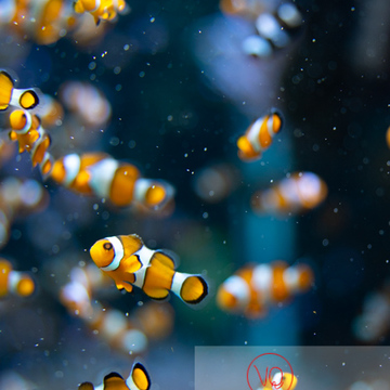 Poissons-clowns à 3 bandes / Aquarium de Monaco - Réf : VQA5-0155 (Q3)