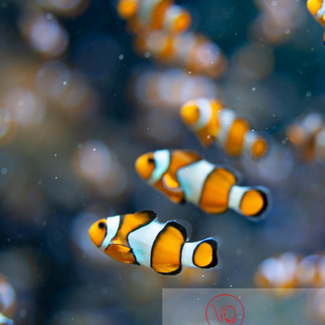 Poissons-clowns à 3 bandes / Aquarium de Monaco - Réf : VQA5-0157 (Q3)