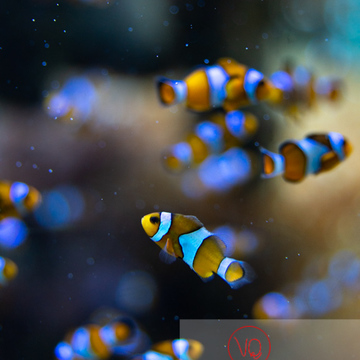 Poissons clowns à 3 bandes / Aquarium Monaco - Réf : VQA5-0158 (Q3)