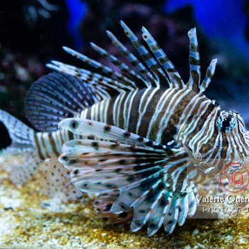 Rascasse volante / Aquarium de Monaco - Réf : VQA5-0159 (Q3)