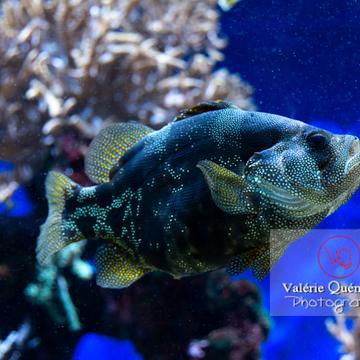 Poisson-savon tâcheté / Aquarium de Monaco - Réf : VQA5-0160 (Q3)
