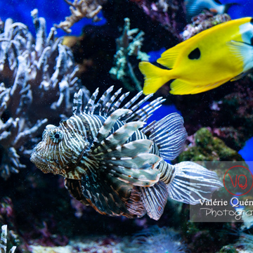 Rascasse volante et poisson tête de renard / Aquarium Monaco - Réf : VQA5-0161 (Q3)