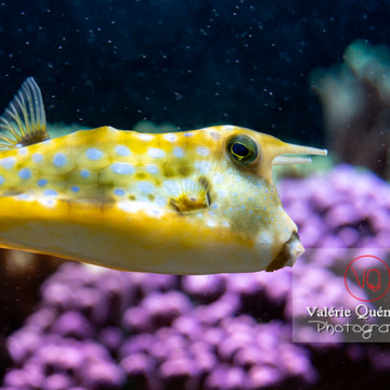 Poisson-vache / Aquarium de Monaco - Réf : VQA5-0163 (Q3)