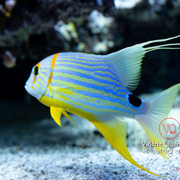 Vivaneau voilier / Aquarium Monaco - Réf : VQA5-0165 (Q3)