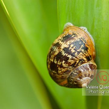 Escargot gros gris - Réf : VQA8-0005 (Q1)