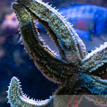 Etoile de mer / Aquarium de Monaco - Réf : VQA9-0023 (Q3)