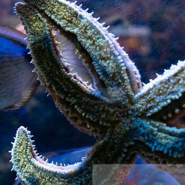 Etoile de mer / Aquarium de Monaco - Réf : VQA9-0024 (Q3)