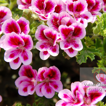 Fleur de pelargonium - Réf : VQF&J-0501 (Q1)