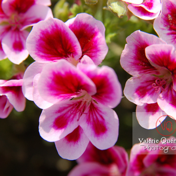 Fleur de pelargonium - Réf : VQF&J-0502 (Q1)