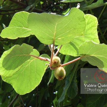 Feuilles et fruits de kiwi - Réf : VQF&J-0510 (Q1)