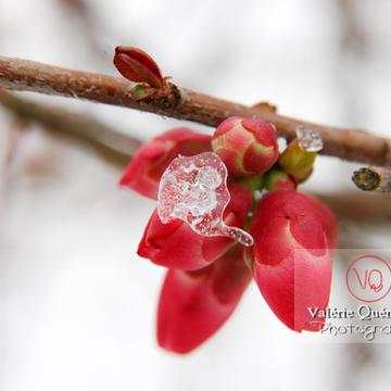 Fleurs de cognassier du Japon sous la neige - Réf : VQF&J-0896 (Q1)
