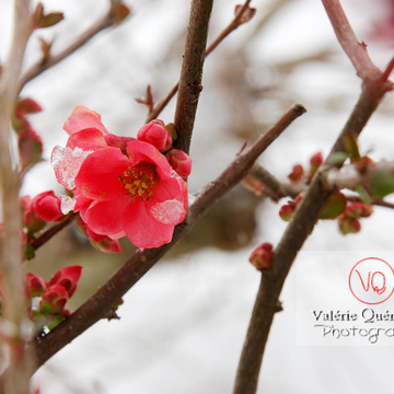 Fleurs de cognassier du Japon sous la neige - Réf : VQF&J-0897 (Q1)