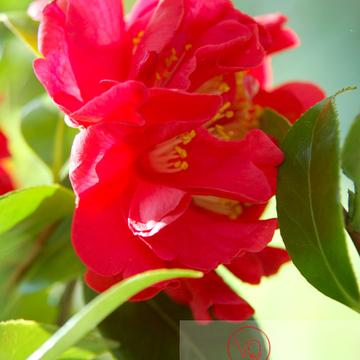 Fleur rouge de camélia - Réf : VQF&J-0942 (Q1)