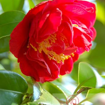 Fleur de camélia - Réf : VQF&J-0943 (Q1)