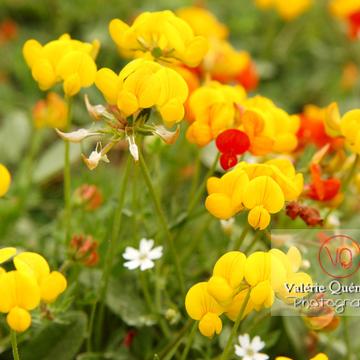 Fleur de lotier dans les Pyrénées - Réf : VQF&J-1233 (Q1)