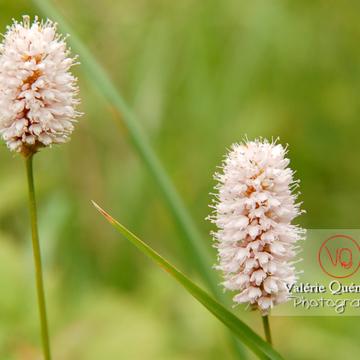 Fleur de renouée bistorte dans les Pyrénées - Réf : VQF&J-1254 (Q1)