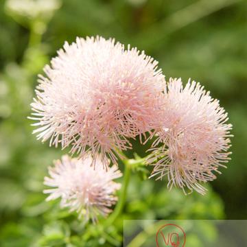 Fleur de pigamon dans les Pyrénées - Réf : VQF&J-1263 (Q1)