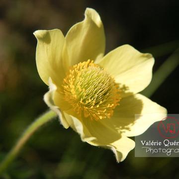 Fleur jaune d'anémone soufrée dans les Pyrénées - Réf : VQF&J-1279 (Q1)