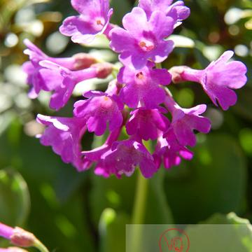 Fleur de primevère à large feuilles dans les Pyrénées - Réf : VQF&J-1304 (Q1)