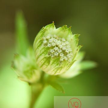 Fleur des Pyrénées - Réf : VQF&J-1333 (Q1)