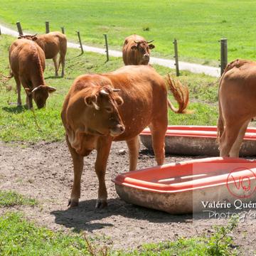 Vaches sur l'île de Bréhat / Côtes d'Armor / Bretagne - Réf : VQFR22-0407 (Q2)