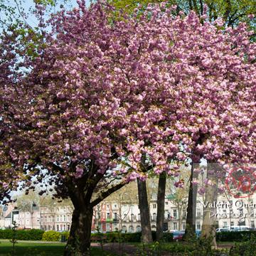Cerisier en fleurs, Amiens - Réf : VQFR80-0022
