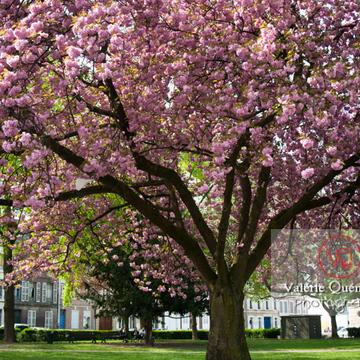 Cerisier en fleurs, Amiens - Réf : VQFR80-0024