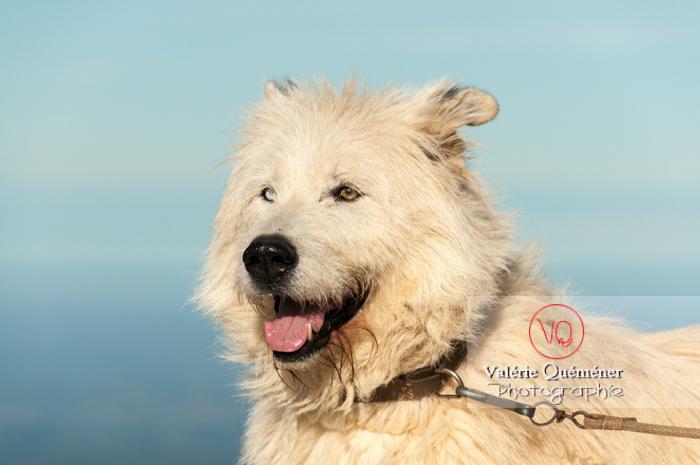 Portrait chien de berger blanc - Réf : VQA1-11-0026 (Q2)