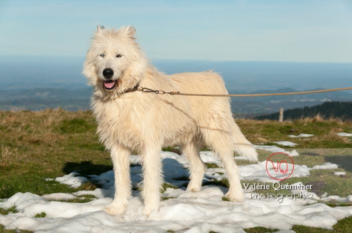 Berger croisé blanc à la montagne en hiver - Réf : VQA1-11-0027 (Q2)