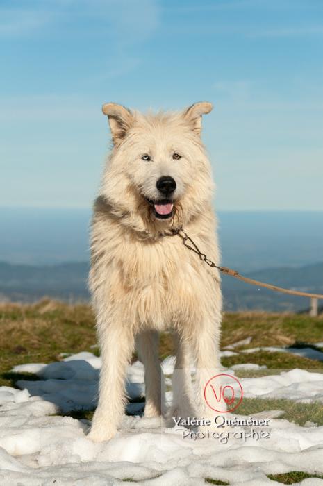 Berger croisé blanc à la montagne en hiver - Réf : VQA1-11-0029 (Q2)