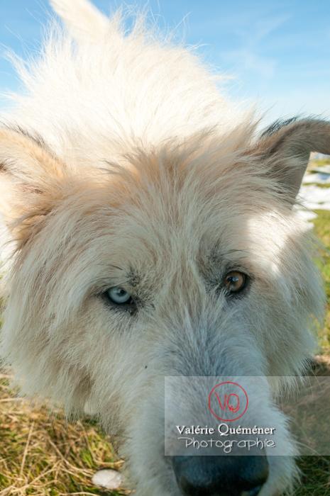 Portrait d'un chien de berger blanc aux yeux vairons - Réf : VQA1-11-0030 (Q2)