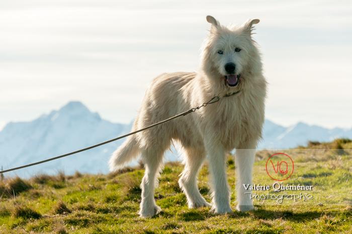 Portrait chien de berger blanc devant les Pyrénées - Réf : VQA1-11-0031 (Q2)