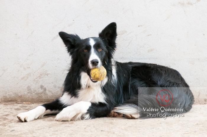 Border Collie prêt à jouer avec une balle de tennis - Réf : VQA1-11-0033 (Q2)