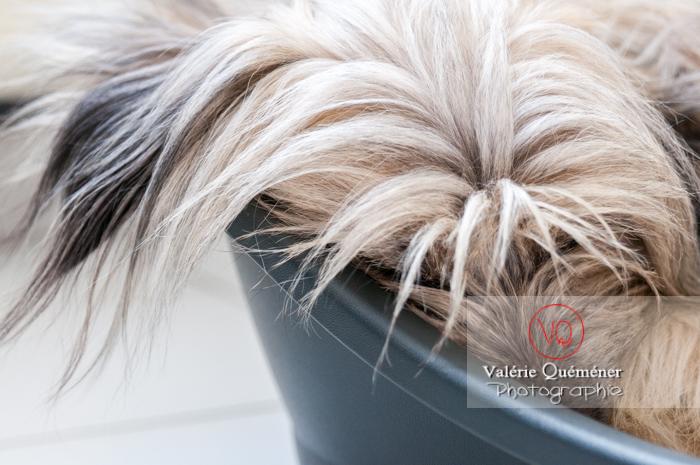 Détail pelage chien berger des Pyrénées dormant dans sa panière - Réf : VQA1-11-0055 (Q2)