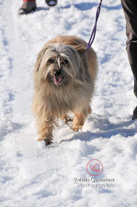 Berger de Pyrénées en promenade dans la neige - Réf : VQA1-11-0060 (Q2)