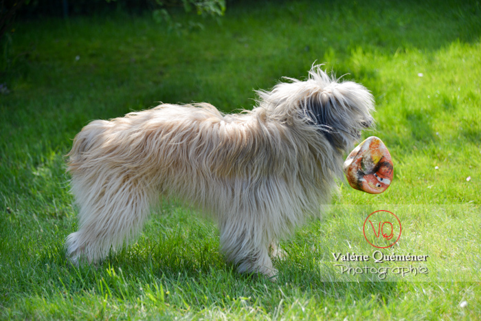 Berger des Pyrénées avec un ballon dans la gueule - Réf : VQA1-11-0061 (Q2)