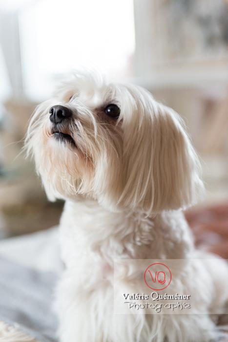 Portrait d'un petit chien blanc Coton Tulear femelle - Réf : VQA1-11-0323 (Q3)