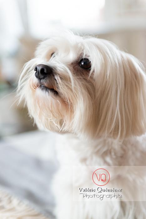 Portrait d'un Coton Tulear - Réf : VQA1-11-0324 (Q3)
