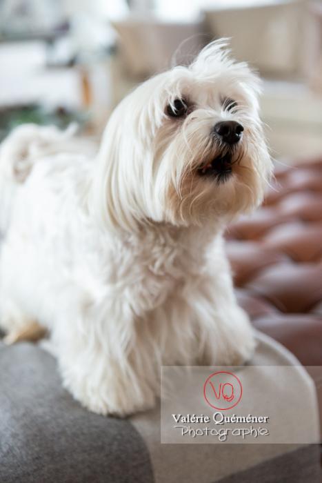 Portrait d'un Coton Tulear - Réf : VQA1-11-0329 (Q3)