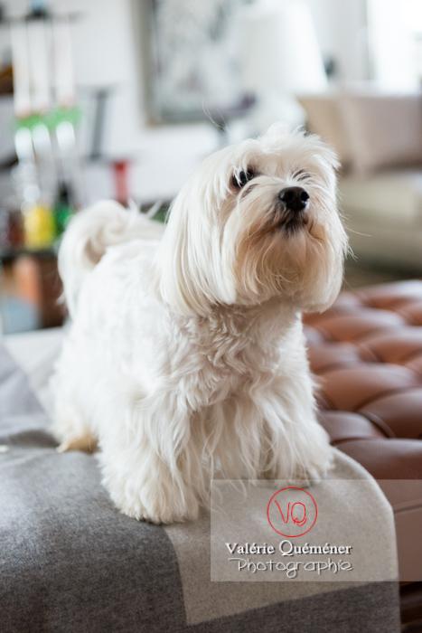 Portrait d'un Coton Tulear - Réf : VQA1-11-0330 (Q3)