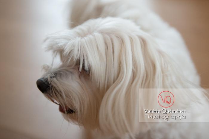Portrait de profil d'un Coton Tulear - Réf : VQA1-11-0334 (Q3)