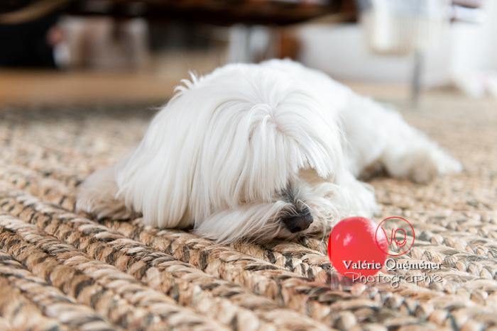 Coton Tulear allongé sur un tapis regardant une balle rouge - Réf : VQA1-11-0340 (Q3)