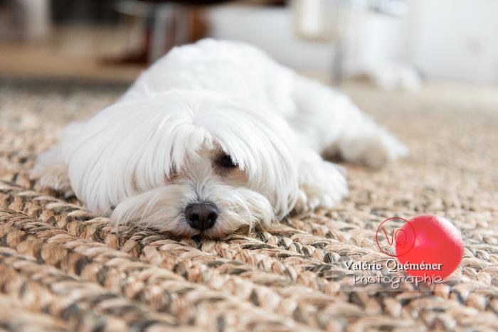 Coton Tulear allongé sur un tapis face à une balle rouge - Réf : VQA1-11-0343 (Q3)