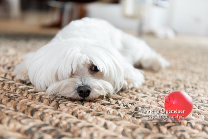 Petit chien blanc Coton Tulear femelle allongée sur un tapis - Réf : VQA1-11-0344 (Q3)