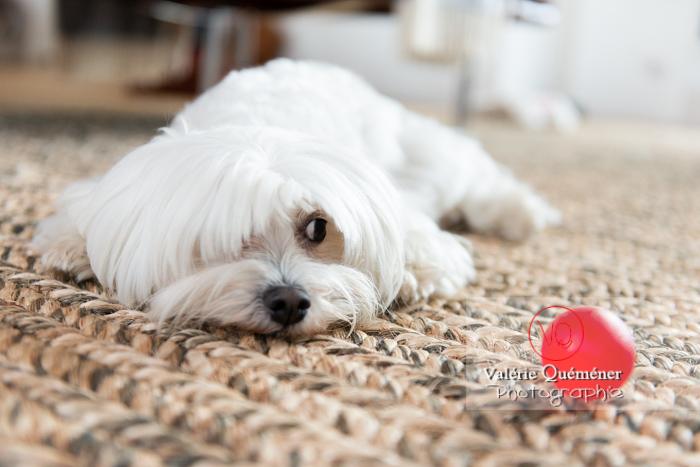 Coton Tulear allongé sur un tapis regardant une balle rouge - Réf : VQA1-11-0345 (Q3)